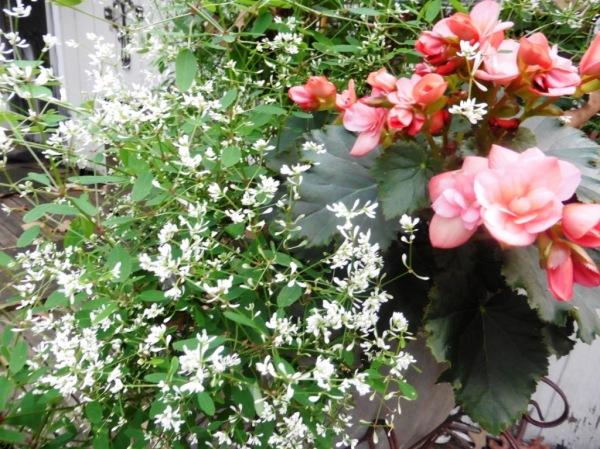 tuberose begonia and euphorbia sept17.143