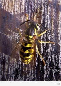 img-yellow-jacket-sting-88