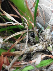 mystery plant a.feb9.15 (1)