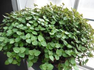 mystery plant b.feb9.15.