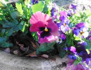 pansies feb14.15.1