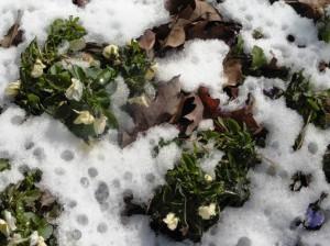 pansies snow feb26.15.