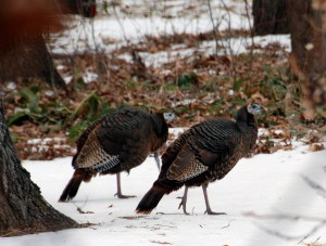 turkeys in MT home.