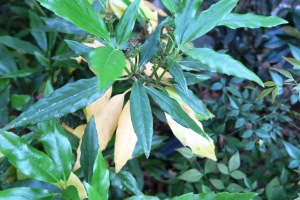 aucuba shedding old leaves.15.1