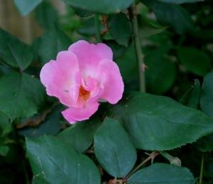 knockout rose pink apr26,15