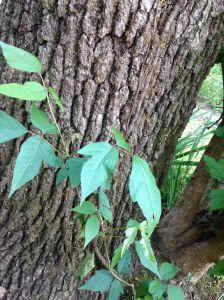 poison ivy 2 apr.29.15