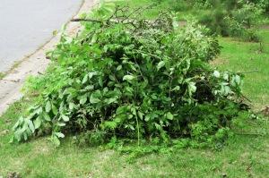 prunings.apr26.15