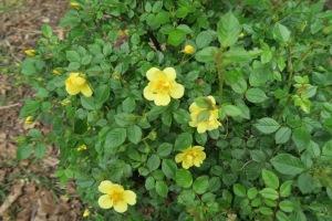 rose osoeasy yellow apr26.15