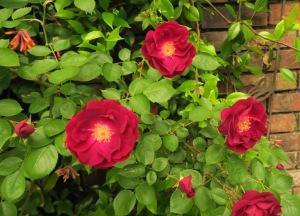 rose root stock apr26 (1)