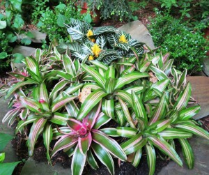 bromelliads outside may5.15