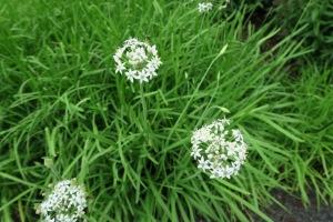 garlic chives blooms may9.15