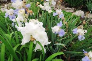 iris.may9.15 (1)