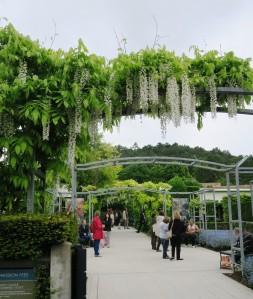 monets garden wisteria