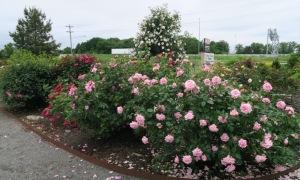 roses may9.15 (3)