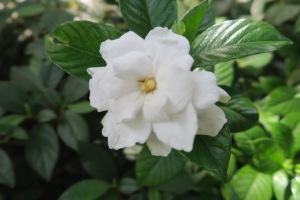gardenias may 30.15.1
