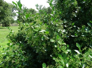 mystery plant b. june8.15.