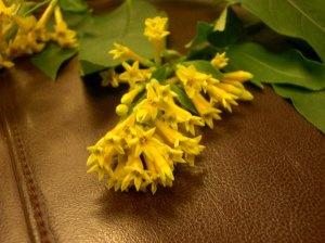 night blooming jasmine -cestras