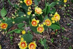 prickley pear cactus may31.15.1