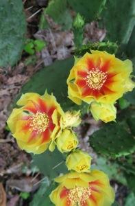 prickley pear cactus may31.15.2