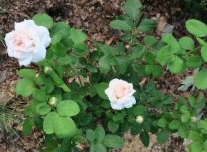 rose david austin new.june20.151