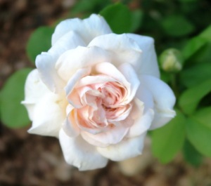 rose david austin new.june20.153