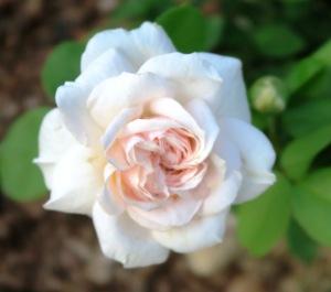 rose david austin new.june20.153