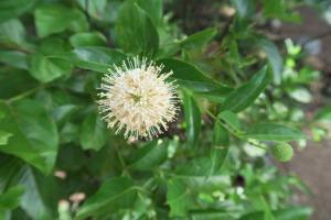 buttonbush.lbj.1