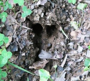 deer track.july15 (1)
