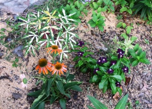 echinacea and vinca.july17.15.