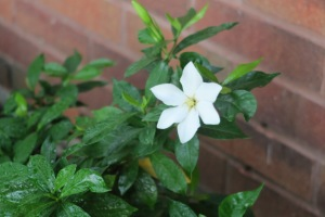 gardenia.july12.15.