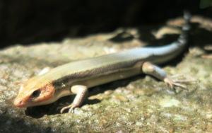 lizard.july15 (1)