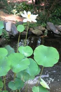 lotus july26 (2)