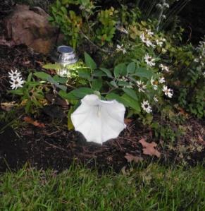 moon flower datura sept8 (1)