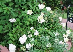 panicale hydrangea july13.15.6