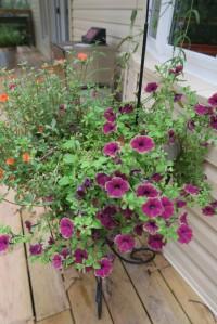 petunias july.15.