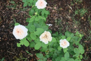 rose david austin.july15 (2)