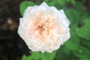 rose david austin.july15 (3)