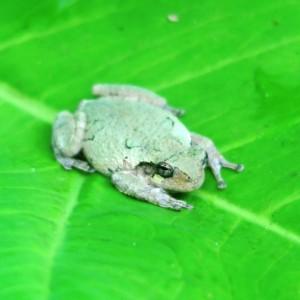 tree frog.garvan.15