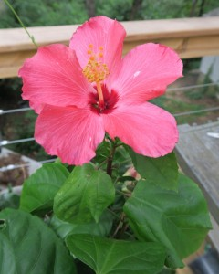 tropical hibiscus july23.15.1