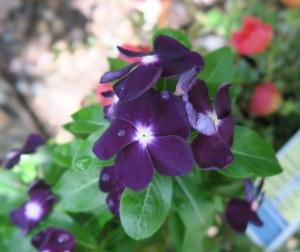 vinca purple.july15.