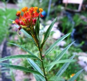 aphids on milkweed.aug28.15 (1)