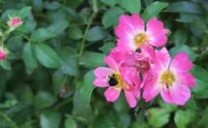 bees roses.aug31.