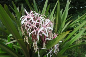 crinum lily aug (1)
