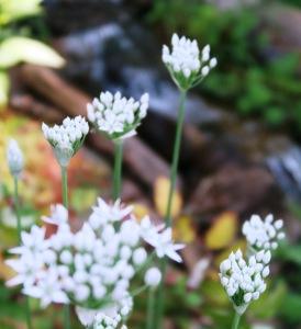 garlic chives blooms aug31.15.