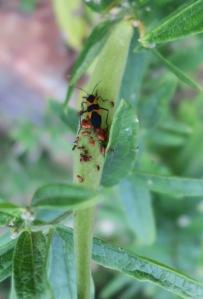 milkweed bugs aug.28.15.