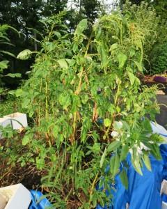 mystery plant aug24.15