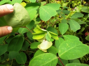 mystery plant coosheen garden ireland.2