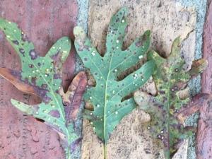 oak leaf damage2.gut.