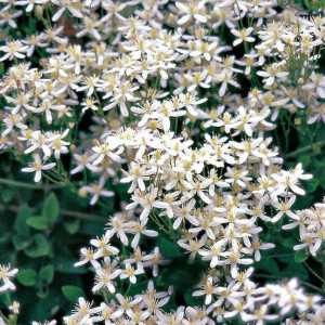 sweet autumn clematis.aug.15