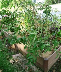 tomato plant aug31.15.